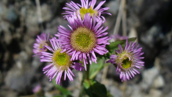 """Установени са нови видове висши растения в НП """"Централен Балкан"""""""