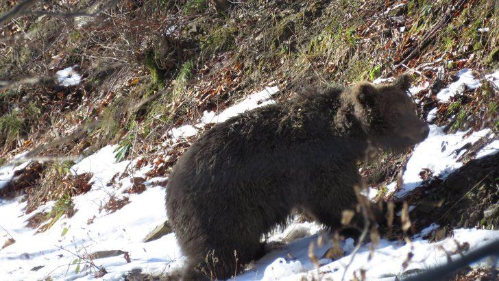 Запознайте се със Спиридон – 200 килограмов мечок