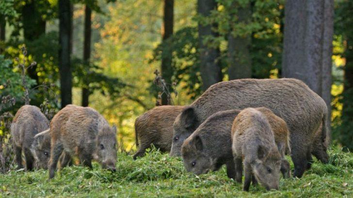 """Стрелят диви прасета за 1 лев, ловците ще се борят с """"Африканската чума"""""""
