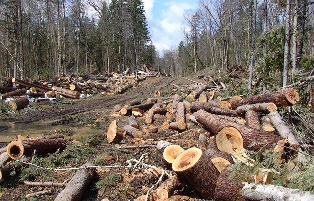 Заловиха бракониер с 6 кубика дърва