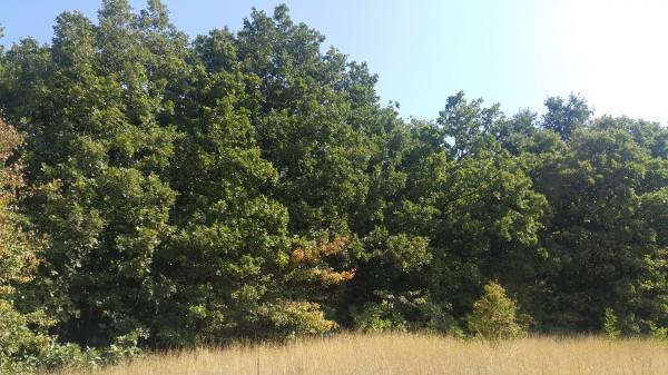 Изсъхна вековен дъб край Шумата