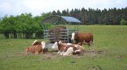 """Фонд """"Земеделие"""" изплаща субсидии за 2018 г. по 91 лева за говедо и 159 лева за бивол"""