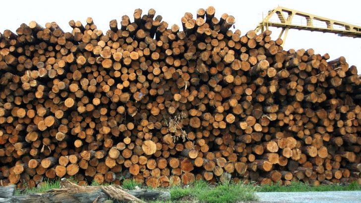 Бракониерска сеч на 66 дървета чер бор край Стоките