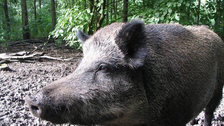 Диво прасе излезе на асфалта и предизвика катастрофа през деня