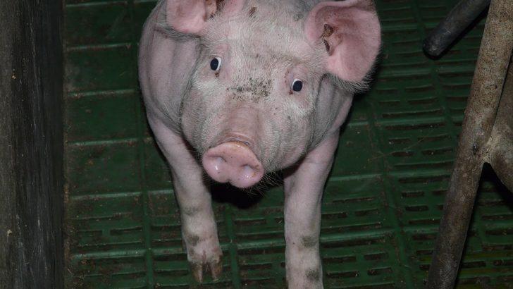 """Няма случай на Африканска чума по свинете в Национален парк """"Централен Балкан"""""""