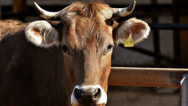 Неизвестен уби крава в Млечево
