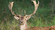 Бракониери са застреляли благородния елен край Кръвеник, горските служители призовават за спазване на правилата