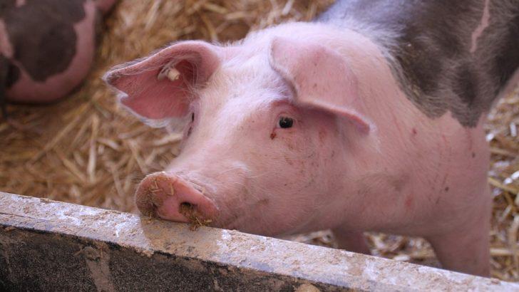 Само един стопанин е нарушил заповедта да гледа прасе в двора си след дезинфекция