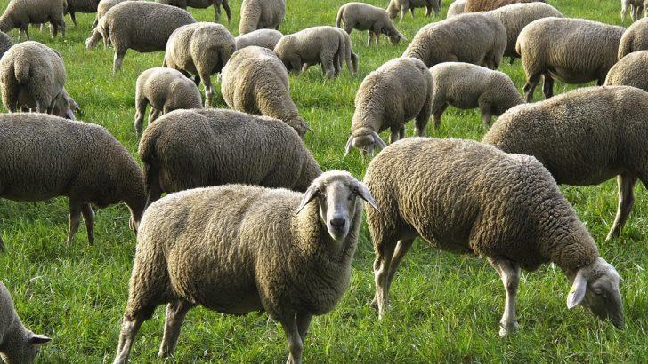 Съмнително болни животни могат да ви докарат Ку-треска