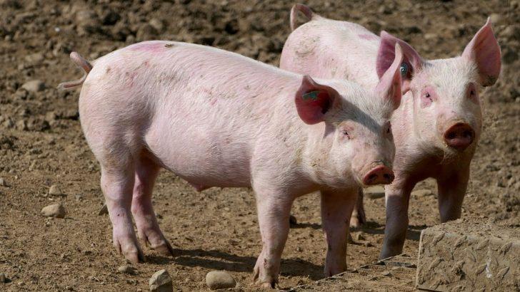 Ново огнище на Африканска чума при домашните свине в село Новачене, област Плевен