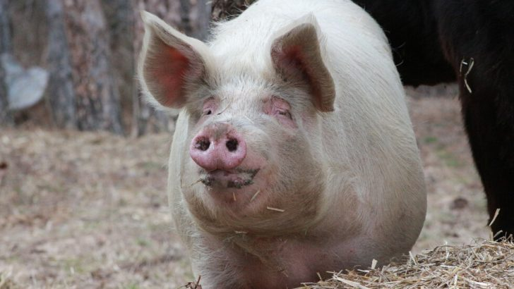 Нови мерки във връзка с африканската чума по свинете за домакинствата и фермите